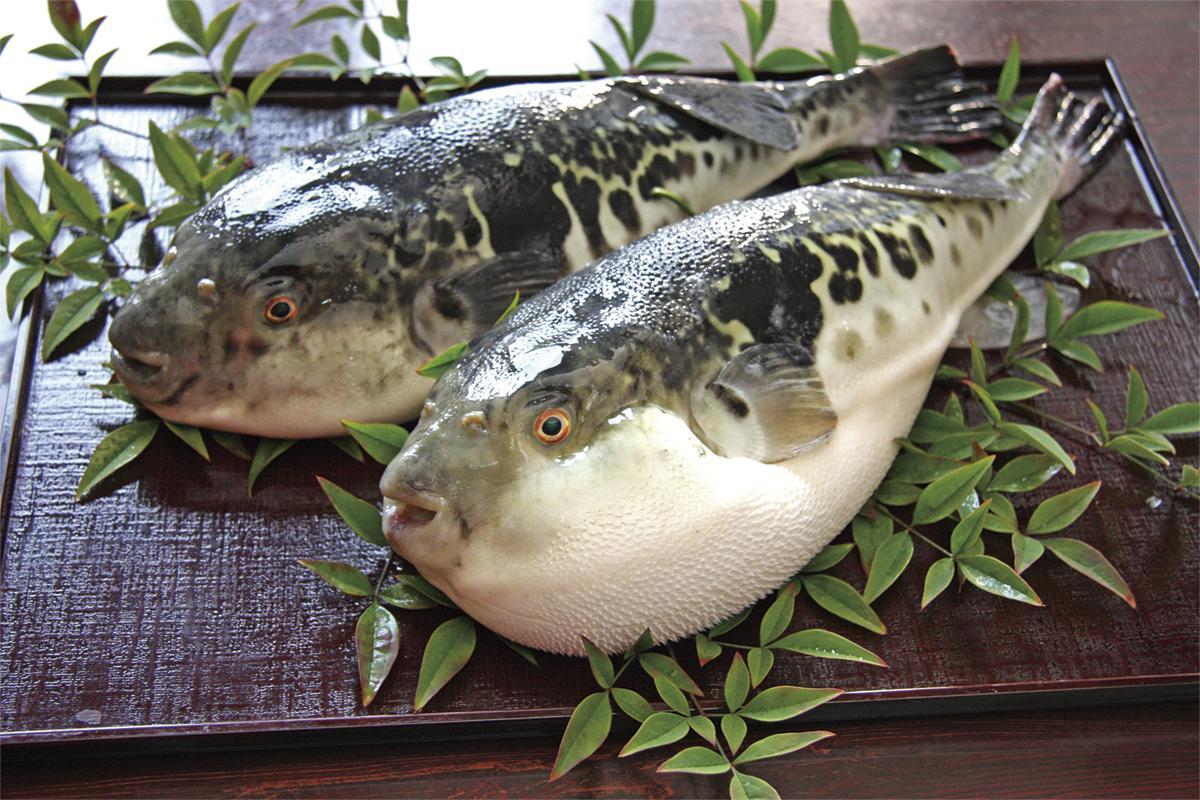 養殖とらふぐ日本一の佐世保が贈る珠玉の味「九十九島とらふぐ」-0