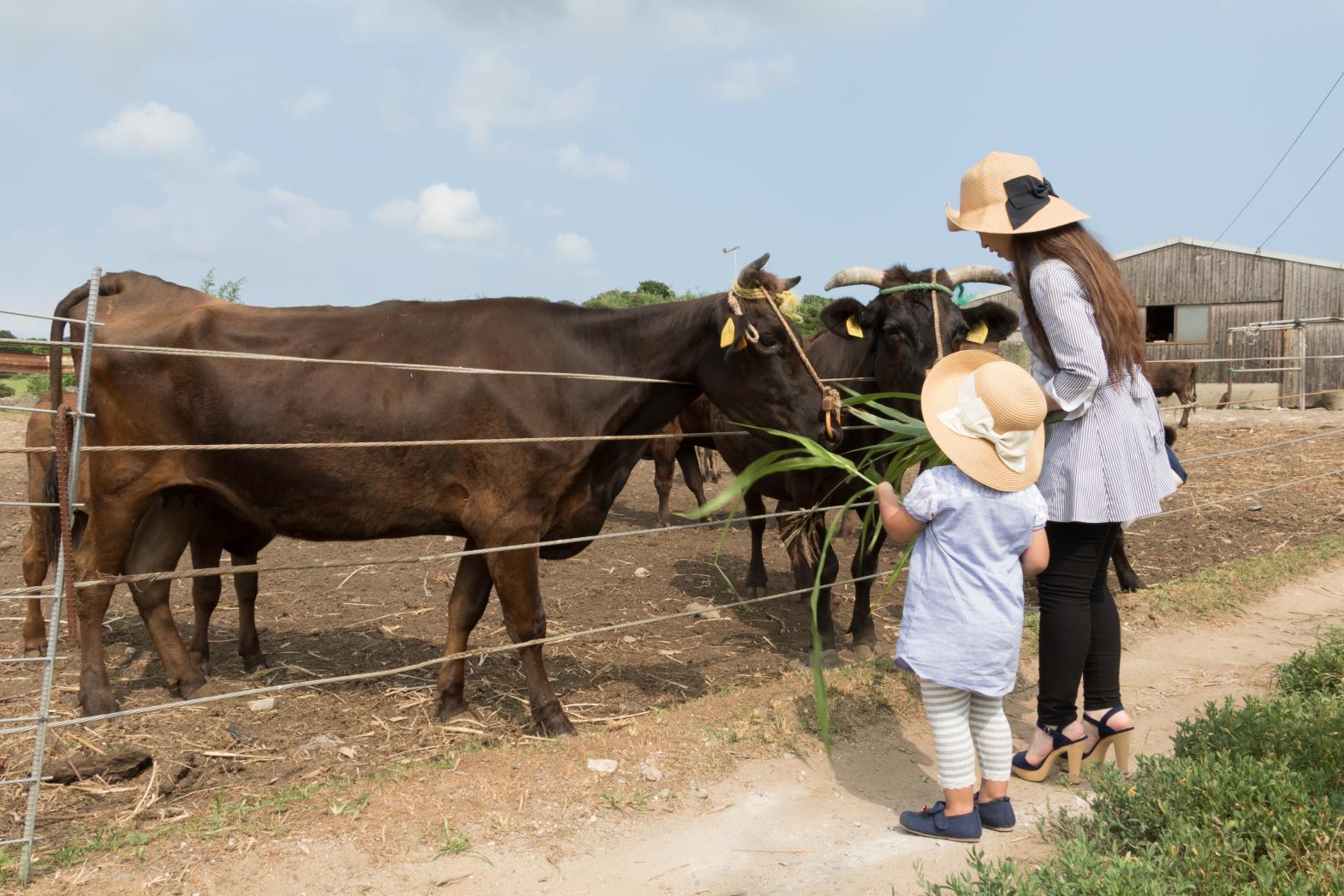 【宇久島】和牛飼育体験-1