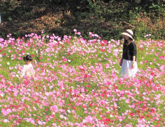 【お花見情報】展海峰のコスモス-2