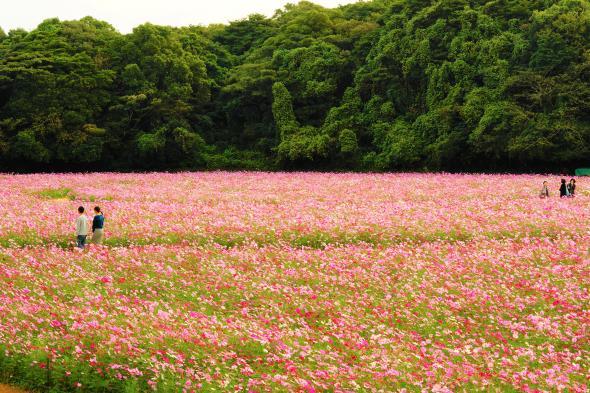 【お花見情報】展海峰のコスモス-1