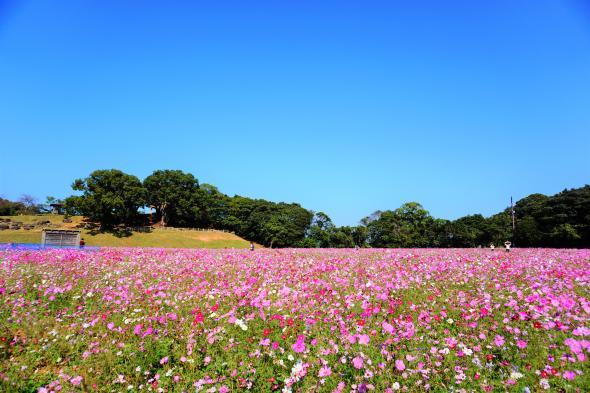 【お花見情報】展海峰のコスモス-3
