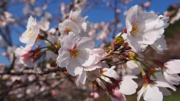 えぼし桜まつり-1